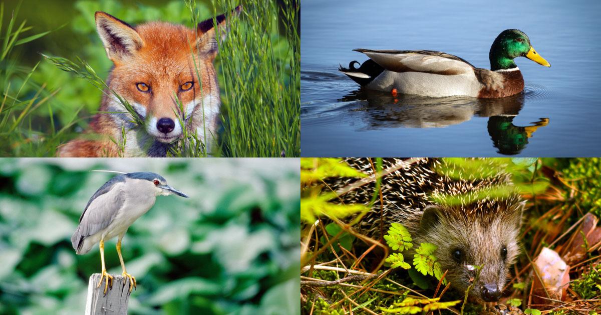 Confinement de l'Homme: un répit pour une biodiversité exsangue
