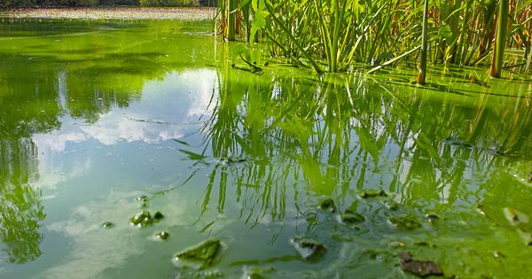 Gestion du risque cyanobactéries: l'Anses propose des outils pour la baignade et l'eau potable