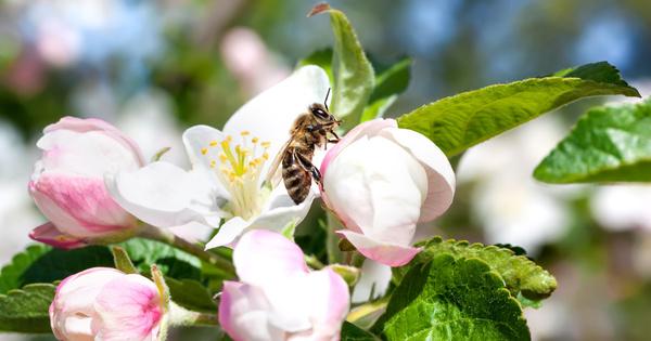 Les apiculteurs et les arboriculteurs dénoncent la révision de l'arrêté «abeilles»