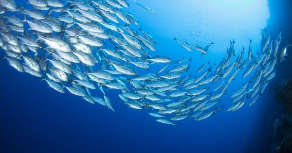 Liste rouge: l'UICN met en avant l'amélioration de quatre espèces de thons