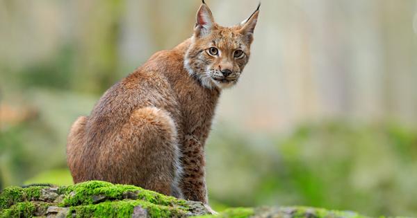 Lynx: un plan d'action pour protéger une espèce emblématique en danger