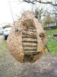 Alerte au frelon asiatique l 39 esp ce exotique envahit la - Nid de guepe sous terre ...