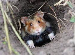 Une espèce de mammifères sur dix est menacée en France métropolitaine