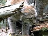 Les parcs zoologiques au secours de la diversité génétique des espèces menacées