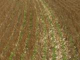 Le semi direct sous couvert : une solution contre l'appauvrissement des sols
