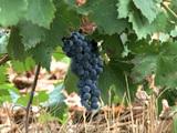 Production viticole sans sulfite : le point de salut pour le vin bio ?