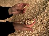 Le miscanthus se révèle un combustible de choix pour les chaudières collectives