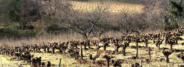 L'agroforesterie appliquée à la viticulture, ça marche !