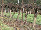 Comment réduire l'usage des pesticides dans les vignes ?