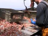 Pêche : Lorient en pince pour la langoustine durable
