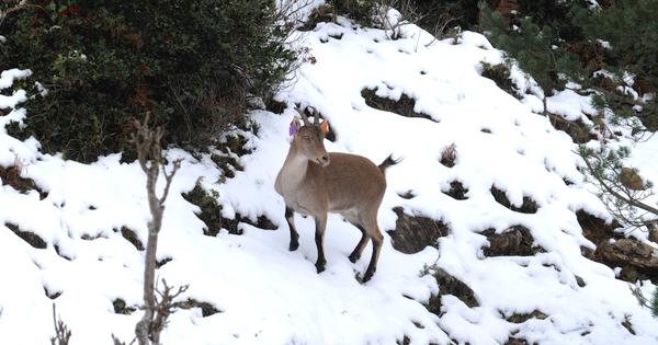 Réintroduction de bouquetins dans les Pyrénées Ariégeoises