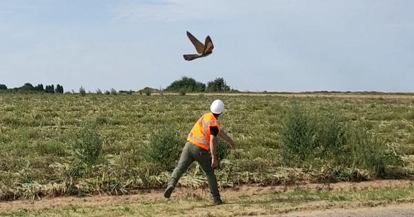 Un oiseau drone pour tester les systèmes de détection des éoliennes