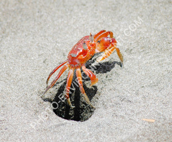 Crabe ewe - Page 6 1962_crabe_rouge_de_sable_ES_6496