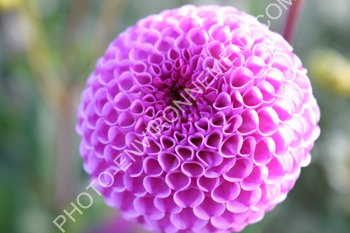 Photo Fleur Violette