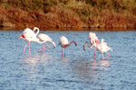 Photo Flamands roses