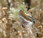 Photo Papillon aux cyclades