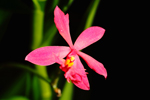 Photo Epidendrum