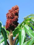 Photo Vinaigrier Sumac